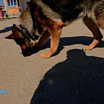 Cainii Jandarmilor din Timisoara, prieteni devotati care nu inchid ochii in fata infractorilor