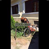 Cal lasat sa pasca pe spatiul verde dintre sosea si trotuar, la Timisoara