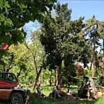 Copac de 6 tone, mutat în Parcul Botanic din calea unei clădiri noi de la Spitalul Municipal