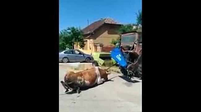 Taur schingiuit de proprietar intr o comuna de langa Timisoara
