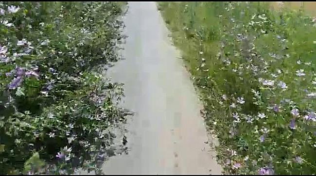 Pista de biciclete din Timișoara a devenit o potecă printre buruieni la Podul Modoș